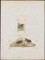Coturnix pectoralis - 1700-1880 - Print - Iconographia Zoologica - Special Collections University of Amsterdam - UBA01 IZ17100125.tif