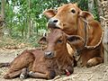 Cow 06.jpg