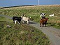 Cows on the road - geograph.org.uk - 263186.jpg