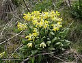 Cowslips near footbridge across M1 - geograph.org.uk - 153221.jpg