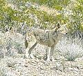 Coyote in Death Valley.JPG
