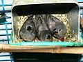 Crías de Taeniopygia guttata.JPG