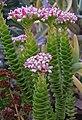 Crassulaceae-'Pink-Pagoda'-.JPG