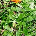 Crepis aurea ENBLA02.jpg