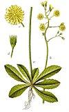 Crepis praemorsa Sturm53