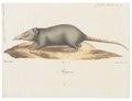 Crocidura indica - 1700-1880 - Print - Iconographia Zoologica - Special Collections University of Amsterdam - UBA01 IZ20900125.tif