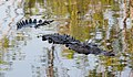 Crocodylus acutus in La Manzanilla mangrove 02.jpg