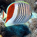 Crown Butterflyfish, Chaetodon paucifasciatus, Red Sea (36204827650).jpg