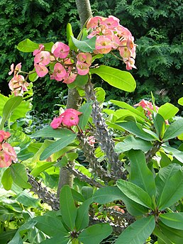 Crown of Thorns Euphorbia x lomi (Unidentified Cultivar) Plant 2248px.JPG