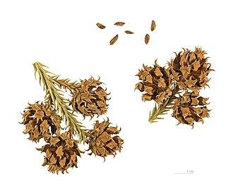 Cryptomeria - Cone and seed