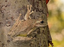 Cuban tree frog (Osteopilus septentrionalis) 6.jpg