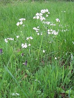 Cuckoo flower Wiltshire