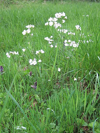 Cardamine pratensis - Image: Cuckoo flower Wiltshire