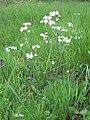 Cuckoo flower Wiltshire.JPG