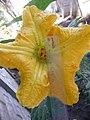 Cucurbita moschata (zapallo espontáneo) flor F01 antesis vista superior estaminodio estilos estigma hormigas regla.JPG