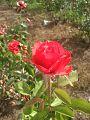 Cultivo de rosas em Petrolina.jpg
