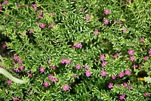 English: Mexican Heather 'Large Rose' (Cuphea ...