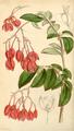 Curtis's Botanical Magazine, Plate 4281 (Volume 73, 1847).png