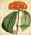 Curtis's Botanical Magazine, Plate 4325 (Volume 73, 1847).jpg