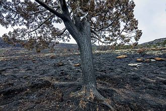 2016 Tasmanian bushfires - Image: Cushion plant and pencil pine, Lake Mackenzie fire IMG 6834