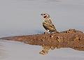 Cut-throat finch, Amadina fasciata at Mapungubwe National Park, Limpopo, South Africa (album includes copulating pair) (17867360491).jpg