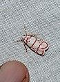 Cyana pudens (Eribidae- Arctiinae- Lithosiini) (3516527133).jpg