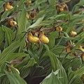 Cypripedium parviflorum (13082450343).jpg
