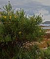 Cytisus insularis aspecto Iñigo Pulgar.jpg