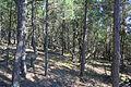 Czołpino - Forest 04.jpg