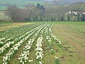 Daffodil field at Westlake Farm - geograph.org.uk - 155493.jpg