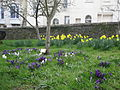 Daffodils and Crocuses at Ryde St Thomas' Church.JPG