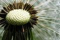 Dandelion seeds 777.jpg
