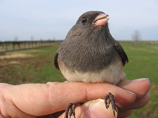 Dark-eyed Junco breast