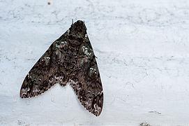 Dark butterfly.jpg