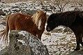 Dartmoor Ponys - panoramio.jpg
