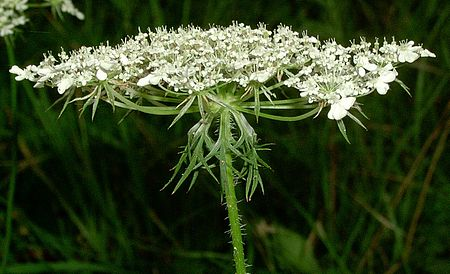 Wikijunior:Summer Flowers of Northern New England/Daucus ...