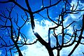Dead Branch Silouette (3590352823).jpg