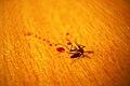 Dead mosquito.jpg