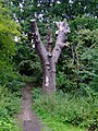 Dead tree by the River Brent - geograph.org.uk - 2584563.jpg
