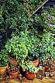 Decking pot plants in Nuthurst parish, West Sussex, England 01.jpg