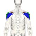 Deltoid muscle back5.png