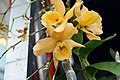 Dendrobium Gold Star Orange Royal 0zz.jpg