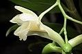 Dendrobium endertii (Kalimantan Indonesia) J.J.Sm., Bull. Jard. Bot. Buitenzorg, sér. 3, 11- 138 (1931) (35397911785).jpg