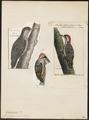 Dendropicus cardinalis - 1782-1825 - Print - Iconographia Zoologica - Special Collections University of Amsterdam - UBA01 IZ18700183.tif