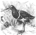 Descent of Man - Burt 1874 - Fig 62.png
