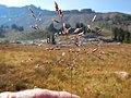 Deschampsia cespitosa (29132592161).jpg