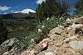 Deseret milkvetch (Astragalus desereticus) (44458352965).jpg