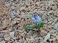 Desert flower - panoramio.jpg