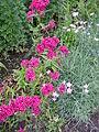 Dianthus barbatus-1.jpg