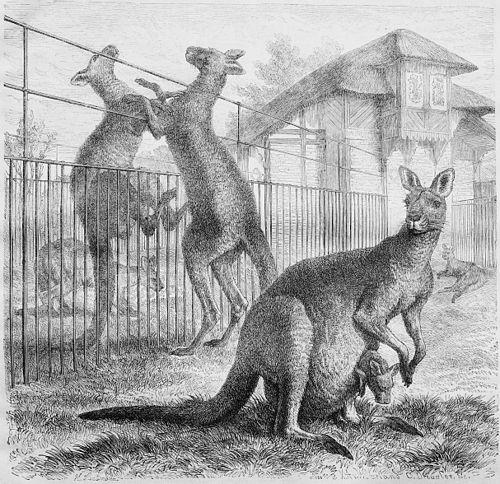 Känguru Gezeichnet